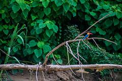 Kinabatangan River (Phalinn Ooi) Tags: sepilokorangutanrehabilitationcentre sunbear sepilok rainforestdiscoverycentre rainforest jungle wildlife sandakan kinabatangan river sukau bilit sabah borneo malaysia asia nature outdoor adventure safari holiday animal orangutan proboscis monkey silverleaf lutung langur crocodile snake monitorlizard boat labukbay myne resort canon eos dslr photography egret bird wanderlust travel family beautiful view love wife trekking macro flower insect tree forest 5dmarkiv beardedpig water cruise alam world scenery flora fauna megadiverse biodiversity landscape people sexy woman biology naturalist