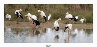 Cigognes blanches et hérons garde-boeufs