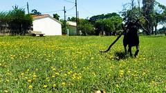 Felicidad verde #Mora #Perro #Labrador #Naturaleza #MyProPhoto (Enmiradas) Tags: labrador perro naturalez mora