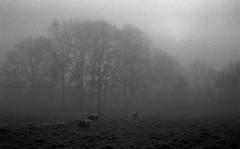They are watching you (Rosenthal Photography) Tags: dezember nebel landschaft haustiere bnw schwarzweiss anderlingen natur bäume asa400 20171202 herbst ff135 pflanzen eichen tiere städte schafe ilfordhp5 bw olympus35rd analog rodinal150 dörfer siedlungen landscape nature fog mist december winter blackandwhite mood 35mm fields olympus olympus35 35rd fzuiko zuiko 40mm f17 ilford hp5 hp5plus rodinal epson v800 sheep trees bachyard
