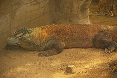 Komodo Dragon (dbind747438) Tags: taronga park zoo sydney new south wales nsw australia attraction animal fauna komodo dragon lizard reptile