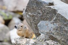 Looking Up (rickcameron) Tags: americanpika pika talus mammal cascadecanyontrail grandtetonnationalpark wyoming rock