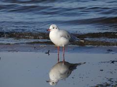Black headed gull (Deanne Wildsmith) Tags: earthnaturelife staffordshire chasewater gull bird blackheadedgull