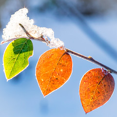 the trio (ChicqueeCat) Tags: winter leaves ice snow sunlight backlit nature nikon d3300