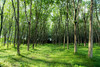 Rubber plant garden (Pith_Sir) Tags: wild rubber plant green trunk tree leaves shadow sun light bright grass rural leaf thailand fresh forest day environment beauty garden