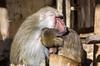 Baboon love (JOAO DE BARROS) Tags: joão barros baboon animal love