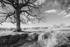 Petworth Park (david.hogan7) Tags: landscape petworth park black white art trees autumn stream clouds reeds south downs national trust canoneos750d