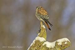 American Kestrel IMG_6439 (ronzigler) Tags: american kestrel falcon raptor bird birdwatcher nature avian sigma 150600mm canon 60d falco sparverius