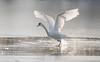 Take off (dunderdan77) Tags: start takeoff frozen frusen lake sjö skåne flyger flyga fly d500 tamron nikon sverige sweden natur nature wildlife beak näbb fjädrar feather swan svan