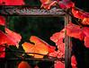 Winter in Coastal California (-Dagmar-) Tags: grapevine fallcolor leaves colorfulleaves vitiscalifornica nativeplant grape