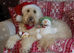 51/52 ... Merry Christmas everyone (Chickpeasrule) Tags: merrychristmas evie goldendoodle snowman toy chickpea santa hat blanket cushion festive