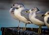 Gulls in a row (jsleighton) Tags: birds gulls newburgh waterfront fence