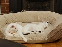 dreaming of sugar plums (xzna) Tags: cats fireplace christmas friends