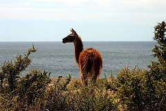 Punta Tombo (Bloody Nick) Tags: patagonia argentina animals sea ocean