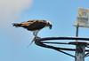 DSC_0008 (11) (RUMTIME) Tags: osprey birds bird nature coochiemudlo coochie flight feathers feather flying fish queensland