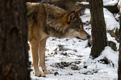 Wolf (iiisecondcreep) Tags: wolf europeangreywolf canislupuslupus canid animal mammal predator apex fauna highlandwildlifepark rzss scotland highlands kingussie cairngorm season winter christmas xmas twixmas zoo captivity captive canon70d canon70200f4 canon crubenbeg