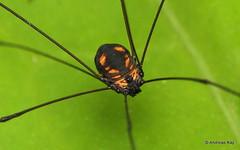 Harvestman, Opiliones (Ecuador Megadiverso) Tags: amazon andreaskay arachnida cranaidae ecuador harvestman opiliones rainforest spider