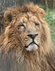 asiatic lion Aapel Blijdorp BB2A9910 (j.a.kok) Tags: leeuw lion aziatischeleeuw asiaticlion pantheraleopersica blijdorp mammal zoogdier dier animal azie asia predator mammel aapel