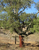 Cork tree with bark recently extracted from the trunk (D70) Tags: cork tree with bark recently taken from trunk extracted
