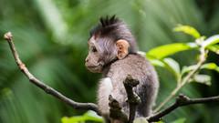 _DSC0492 (tomaszbaranowski007) Tags: apes nature portrait eyes bali monkey nikonflickraward animal nikon fly travel macro closeup