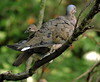 Eared Dove, Zenaida auriculata (asterisktom) Tags: tripecuadorperu2017 ecuador 2017 december quito bird vogel ave 鸟 птица 鳥 pajaro parquelineal eareddove zenaidaauriculata dove