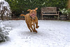It's snowing!  It's snowing! (Kev Gregory (General)) Tags: benson doguedebordeaux dogue de bordeaux frenchmastiff french mastiff brown snow snowing white winter cold freeze freezing chase run fun play pet hound dog teeth mouth eyes turner hooch scary tongue faithful funny large fast turnerandhooch movie film tom hanks tomhanks family smile happy happiness
