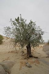 IMG_5221 (Gibrán Nafarrate) Tags: laguna salada bajacalifornia lagunasalada baja vw volkswagen desert desierto nature camping canon