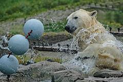 Polar Bear TODZ (K.Verhulst) Tags: blijdorp blijdorpzoo diergaardeblijdorp rotterdam polarbears polarbear ijsberen ijsbeer beren bears todz bear