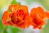 rose 2992 (junjiaoyama) Tags: japan flower rose orange fall autumn macro plant