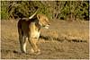 The Queen at Sunrise! (MAC's Wild Pixels) Tags: thequeenatsunrise lioness pantheraleo lion lionpride queenofthesavannah queenofthejungle femalelion wildcat beautifulcat beautifulpussy animal wildlife wildanimal mammal bigpussycat africanwildlife wildafrica safari gamedrive carnivore predator hunter hungrypussy outdoors outofafrica masaimara maasaimaragamereserve kenya macswildpixels coth coth5 ngc