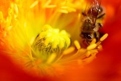 The Unsung Hero (setoboonhong) Tags: nature bee flower pollination pollen anthers stigma poppy macro depth field outdoor colours blur bokeh sunlight bendigo botanical garden importance bees