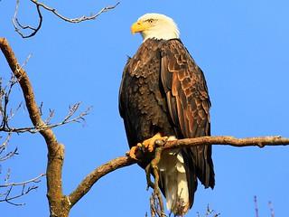 bald eagle at Decorah Fish Hatchery IA 854A2158