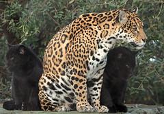 Jaguar Rica and cub Artis BB2A2276 (j.a.kok) Tags: jaguar jaguarcub jaguarwelp blackjaguar zwartejaguar artis rica animal zoogdier zuidamerika southamerica mammal predator kat cat