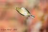 xxD40_7532 (Eyas Awad) Tags: eyasawad nikond4 sigma500f45 bird birds birdwatching wildlife nature fringuello fringillacoelebs