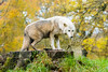 Longleat Timberwolf (daveashaw) Tags: wolf longleat wiltshire zoo safaripark animal nikon tamron