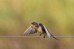 hungry wee welcome swallow #1 (Fat Burns ☮ (on/off)) Tags: welcomeswallow hirundoneoxena swallow bird australianbird australianswallow australianfauna fauna juvenilebied nikond500 sigma150600mmf563dgoshsmsports oxleycreekcommon brisbane queensland australia