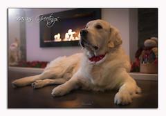 Seasons Greetings (glank27) Tags: dog magic golden retriever pet karl glanville canon ef50mm f18ii warm christmas seasons greetings cute puppy