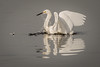 Bathing (rlb1957) Tags: snowyegret egrettathula bathing donedwards sanfranciscobay nationalwildliferefuge alviso california