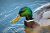 boxing day beauty (stellagrimsdale) Tags: drake duck bird waterfowl waterdroplets fantasticnature green bill beak yellow water hainaultforest ripples waterripple droplets mallard feathers plumage male
