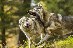 lupi-0003 (delpero64) Tags: bosco d4s lc lecco sanfedeledintelvi amors boschi delpero delpero64 film intelvi italia italy lupi lupo nikon peter pietro set wolf