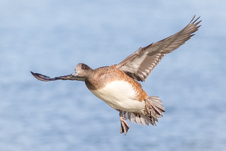Incoming American Widgeon