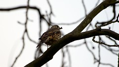 Mistle thrush (Turdus viscivorus) (jhureley1977) Tags: birds birding birdsofbritain britishbirds ashjhureley avibase naturesvoice bbcspringwatch rspbbirders ashutoshjhureley hemelhempstead hemelbirding