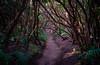 Chinobre Trail (Schmendrax) Tags: forrest canaryislands adventure spain morninghour sunrise trekking trail tenerife outdoor anaga trees track hiking esp