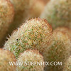 Mammillaria elongata-4 (SUBENUIX) Tags: cactaceae mammillariaelongata suculentas subenuix subenuixcom planta suculent suculenta botanic botanical