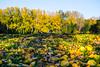 Week 46 - Story: Landscape Foreground - Autumn Leaves #dogwood2017week46 (MrFox9) Tags: m42 flektogon flektogon35f24 ausjena carlzeissjena dogwood52 dogwood2017 dogwood2017week46