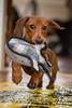 [113/365] (massi2403) Tags: pets dog whale oscar day113 webbox dachshund miniture