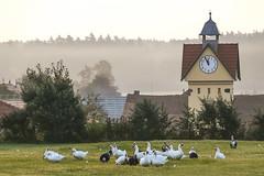 Wem die Stunde schlägt ... (Panasonikon) Tags: panasonikon weihnachten fünfvorzwölf uhr uhrzeit clock kirchturm bauernhof gans ente geflügel panasonic dmcfz50