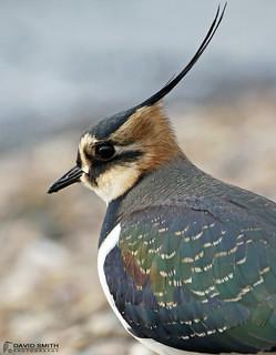 DSP01860 - Lapwing  (Vanellus vanellus)