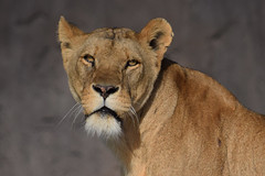Tia @ Wildlands Adventure Zoo Emmen 25-03-2017 (Maxime de Boer) Tags: tia african lion lioness afrikaanse leeuw leeuwin panthera leo big cats katachtigen wildlands adventure zoo emmen animals dieren dierentuin dierenpark gods creation schepping creator schepper genesis
