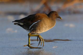 Gallinula on ice b